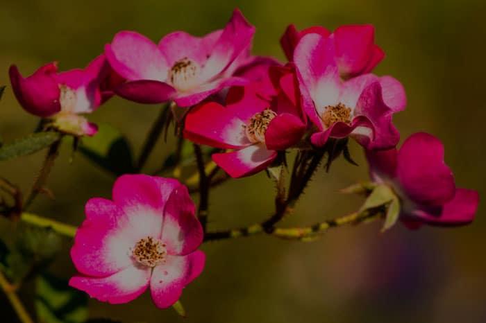 aceite rosa mosqueta mercadona